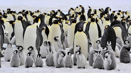 pingvinek sokan