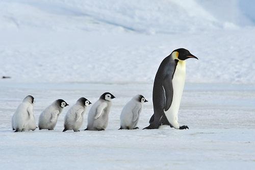 pingvin mentor2